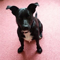 Wizzi the Patterdale Border Collie Cross